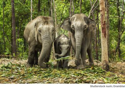 trys drambliai